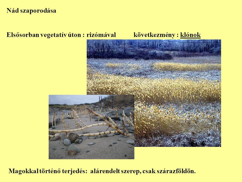 Nád szaporodása Elsősorban vegetatív úton : rizómával következmény : klónok.
