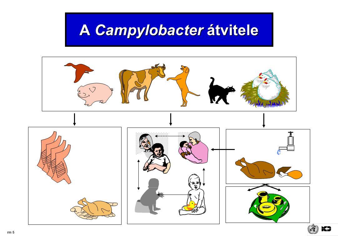 A Campylobacter átvitele