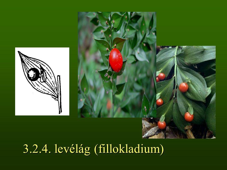 3.2.4. levélág (fillokladium)