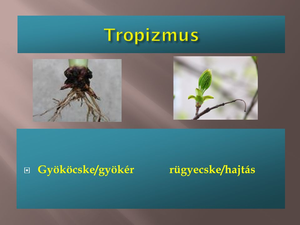 Tropizmus Gyököcske/gyökér rügyecske/hajtás