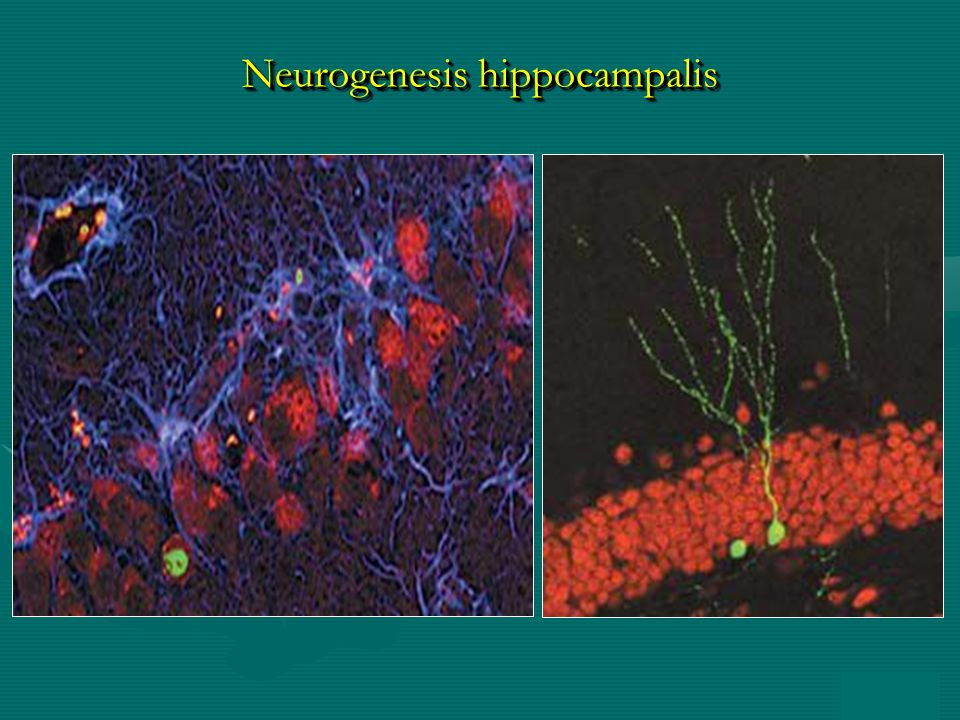 Neurogenesis hippocampalis