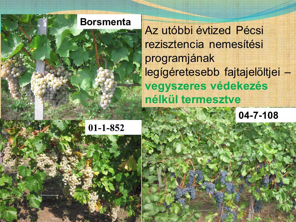 Borsmenta Az utóbbi évtized Pécsi rezisztencia nemesítési programjának legígéretesebb fajtajelöltjei – vegyszeres védekezés nélkül termesztve.