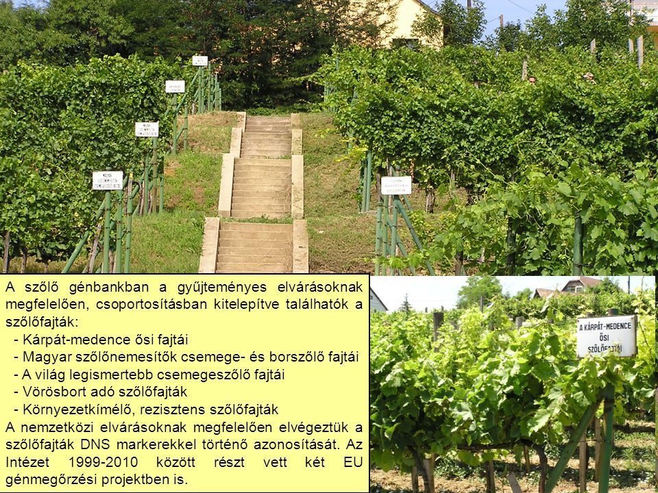 A szőlő génbankban a gyűjteményes elvárásoknak megfelelően, csoportosításban kitelepítve találhatók a szőlőfajták: