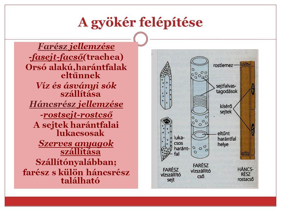 A gyökér felépítése Farész jellemzése -fasejt-facső(trachea)