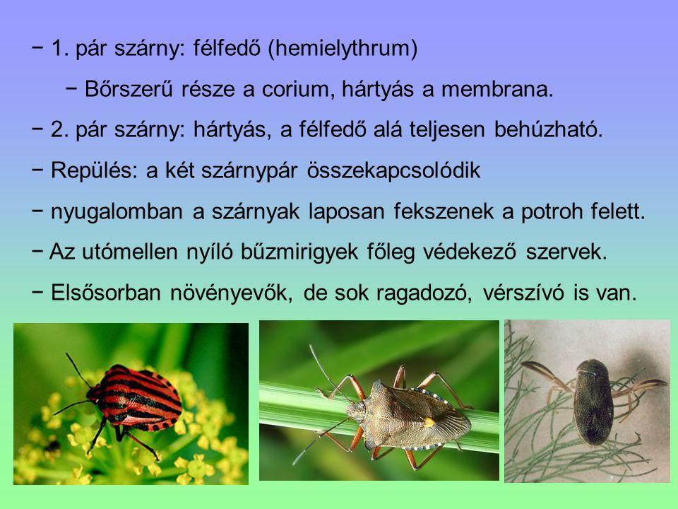 1. pár szárny: félfedő (hemielythrum)