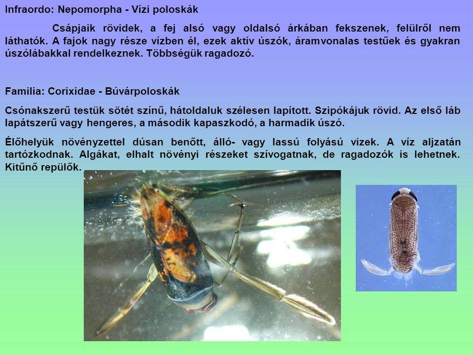 Infraordo: Nepomorpha - Vízi poloskák