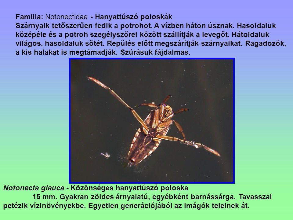Familia: Notonectidae - Hanyattúszó poloskák