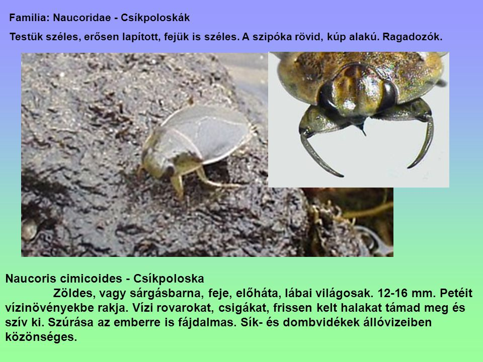Naucoris cimicoides - Csíkpoloska