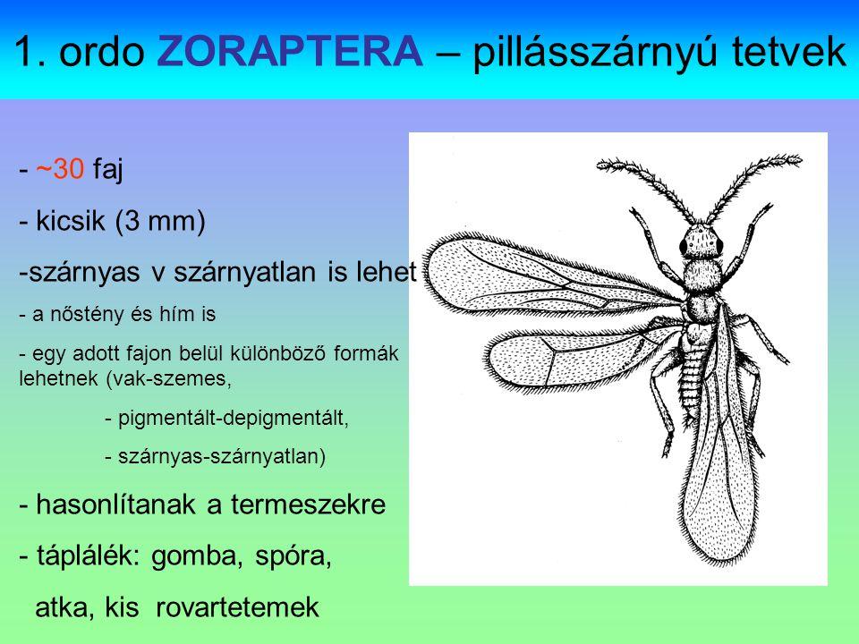 1. ordo ZORAPTERA – pillásszárnyú tetvek