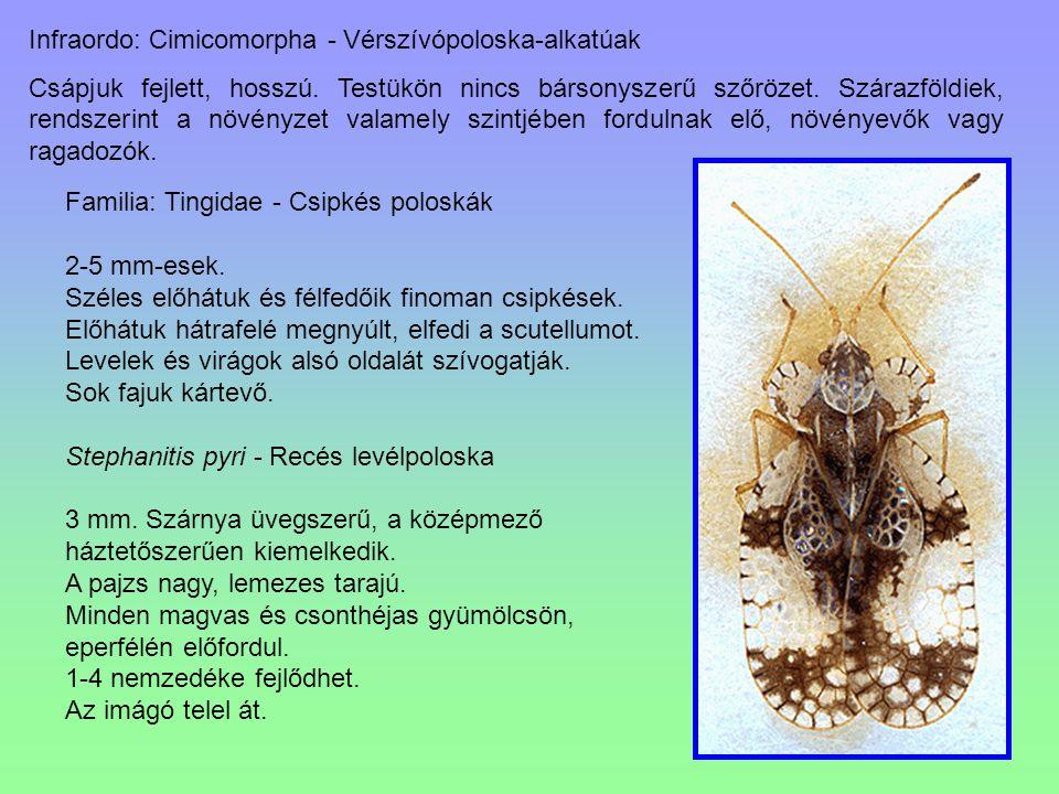 Infraordo: Cimicomorpha - Vérszívópoloska-alkatúak