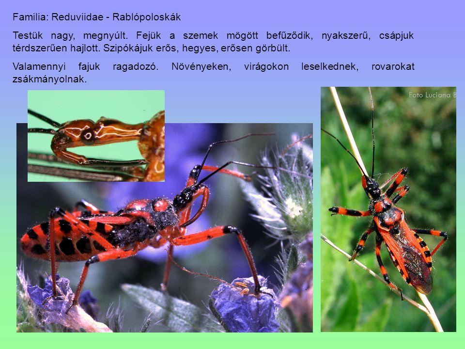 Familia: Reduviidae - Rablópoloskák