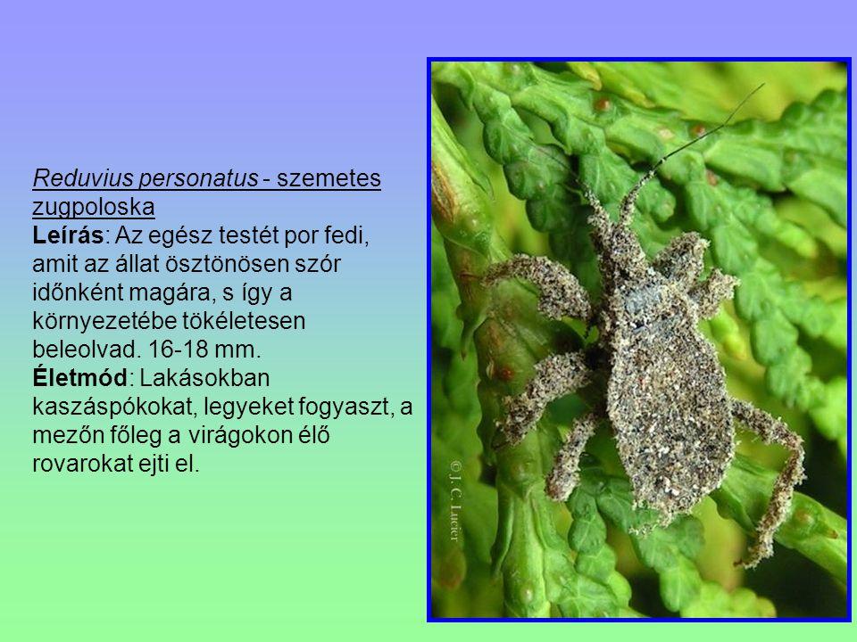 Reduvius personatus - szemetes zugpoloska