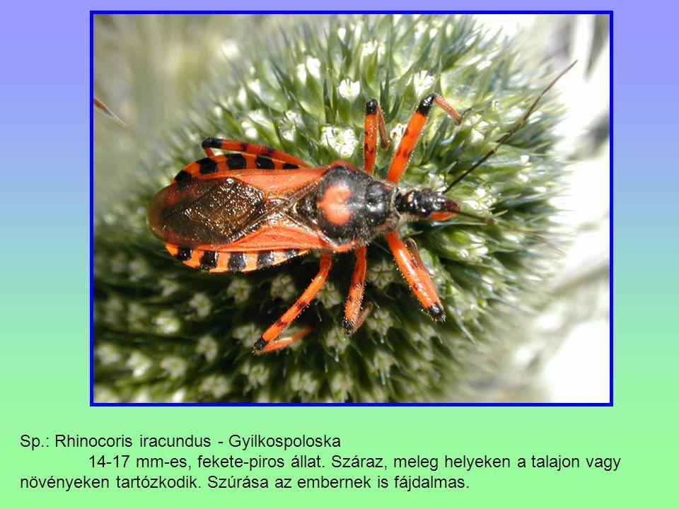 Sp.: Rhinocoris iracundus - Gyilkospoloska