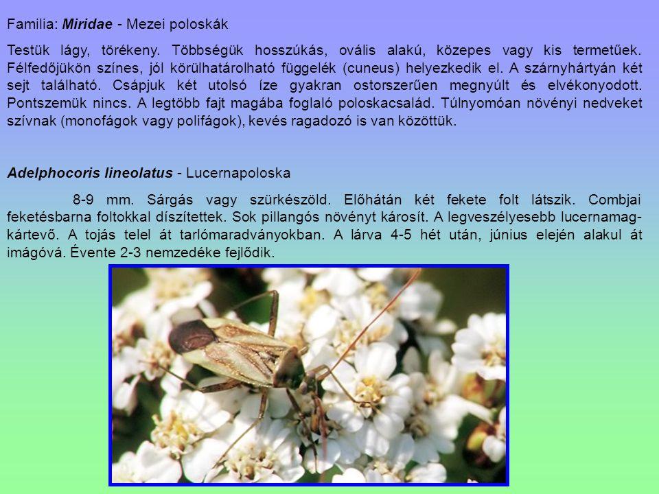 Familia: Miridae - Mezei poloskák