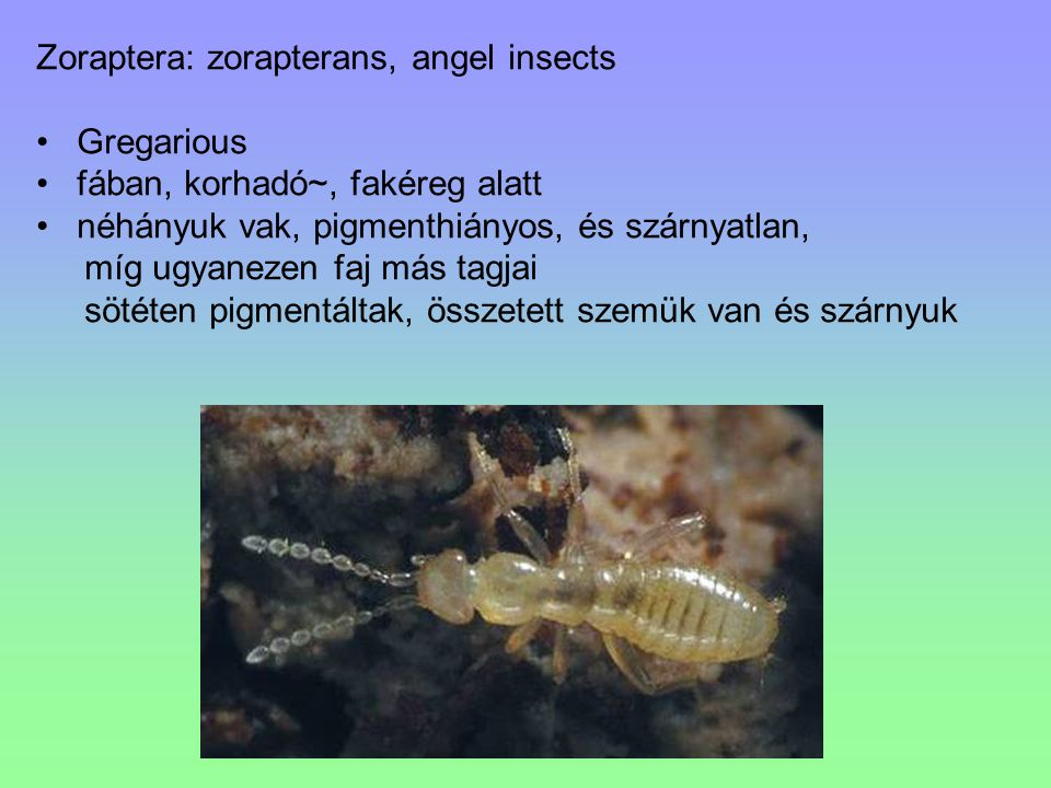 Zoraptera: zorapterans, angel insects