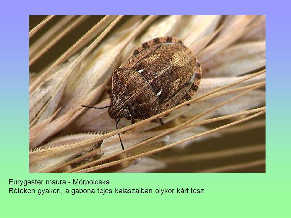 Eurygaster maura - Mórpoloska