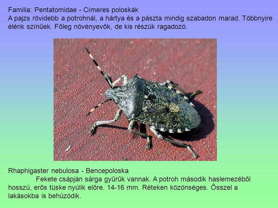Familia: Pentatomidae - Címeres poloskák