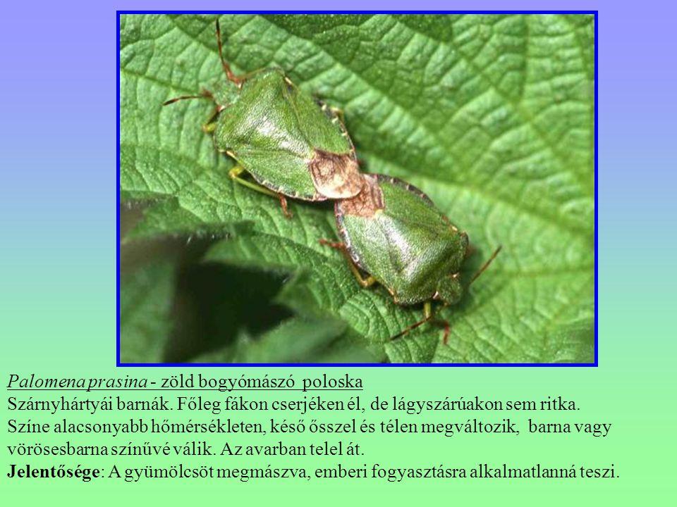 Palomena prasina - zöld bogyómászó poloska