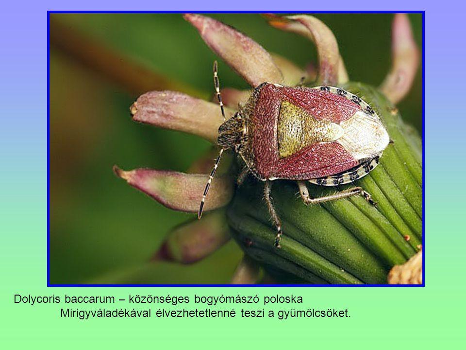 Dolycoris baccarum – közönséges bogyómászó poloska