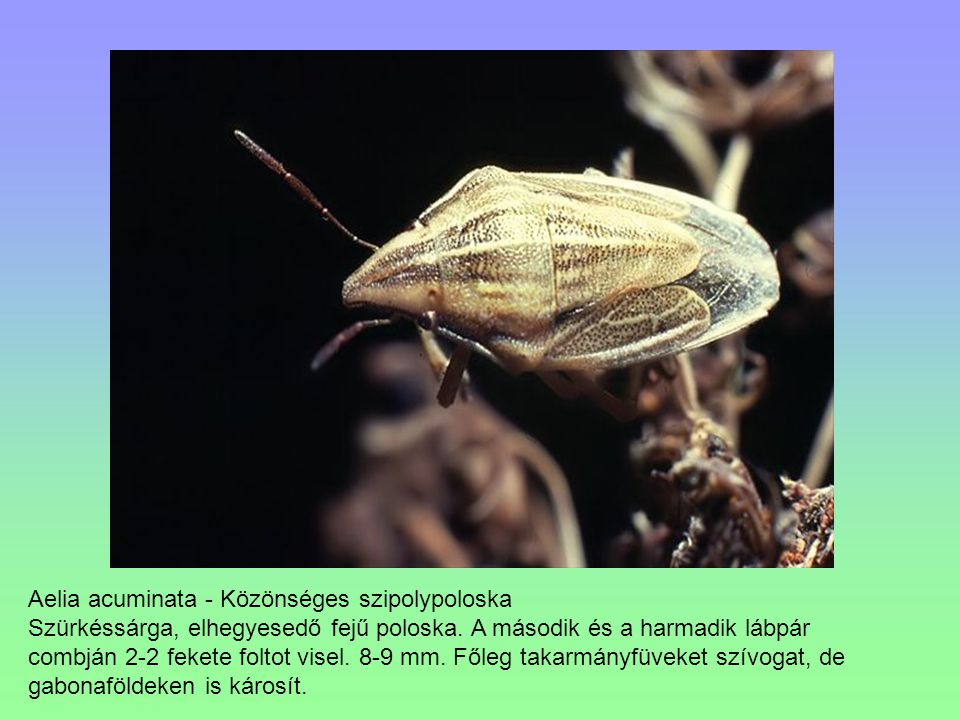 Aelia acuminata - Közönséges szipolypoloska