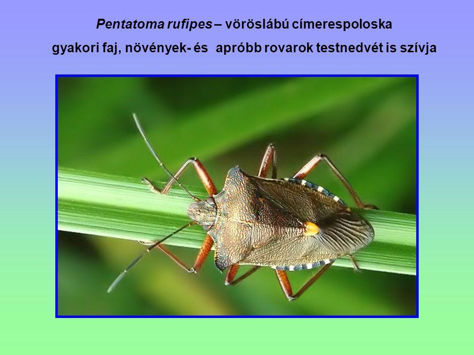 Pentatoma rufipes – vöröslábú címerespoloska