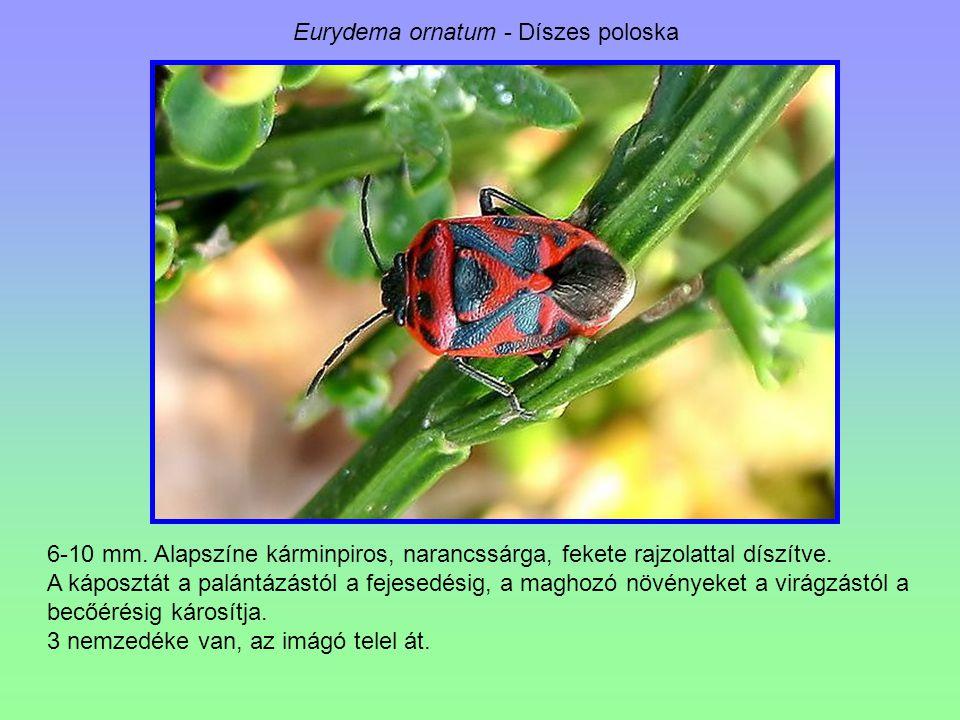 Eurydema ornatum - Díszes poloska