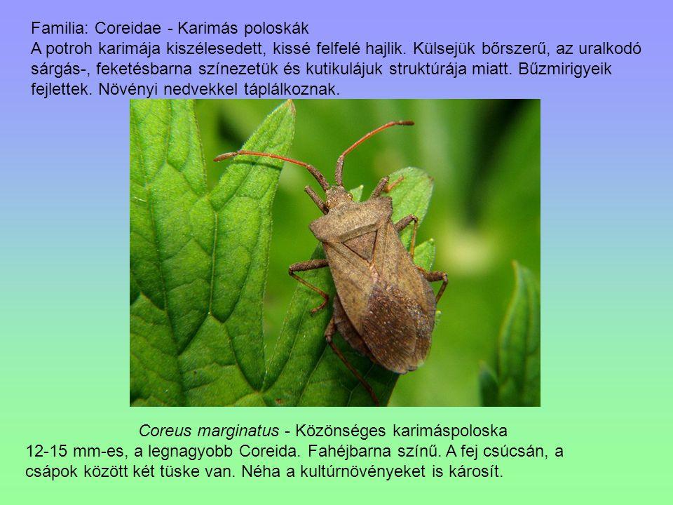 Coreus marginatus - Közönséges karimáspoloska