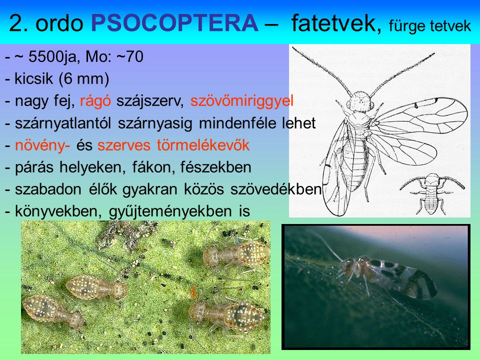 2. ordo PSOCOPTERA – fatetvek, fürge tetvek