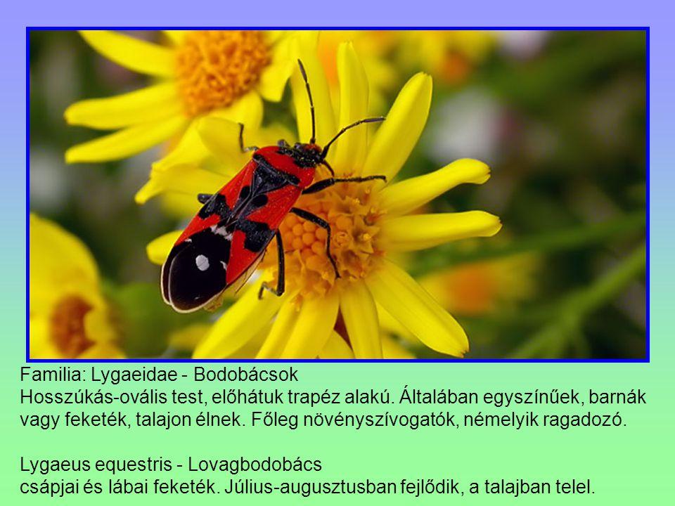 Familia: Lygaeidae - Bodobácsok