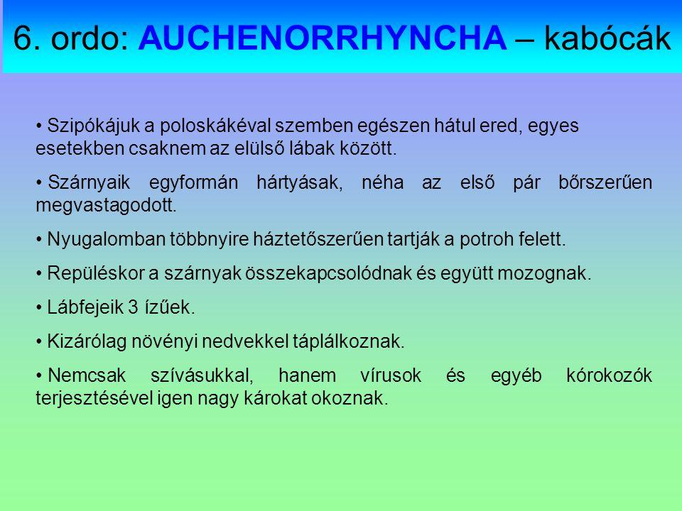 6. ordo: AUCHENORRHYNCHA – kabócák