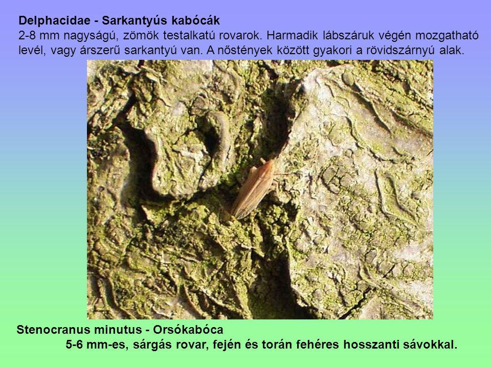 Delphacidae - Sarkantyús kabócák