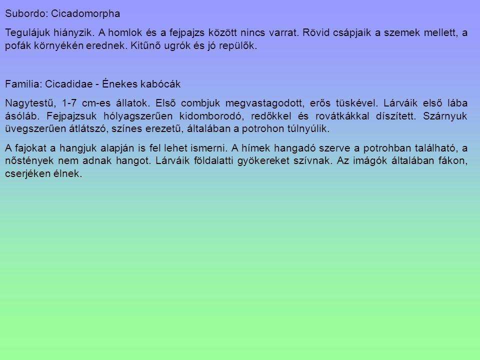 Subordo: Cicadomorpha