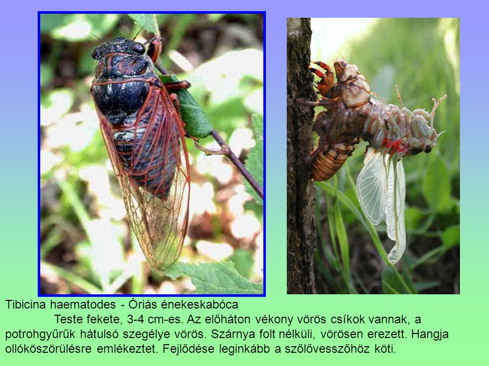 Tibicina haematodes - Óriás énekeskabóca