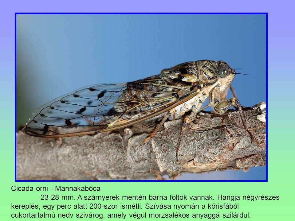 Cicada orni - Mannakabóca