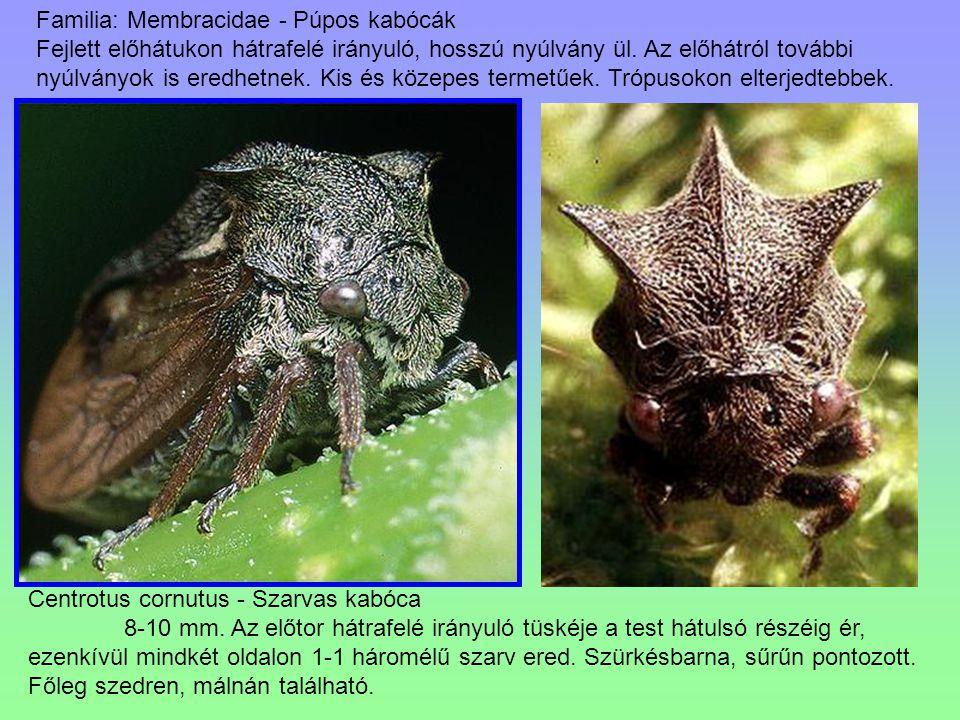 Familia: Membracidae - Púpos kabócák