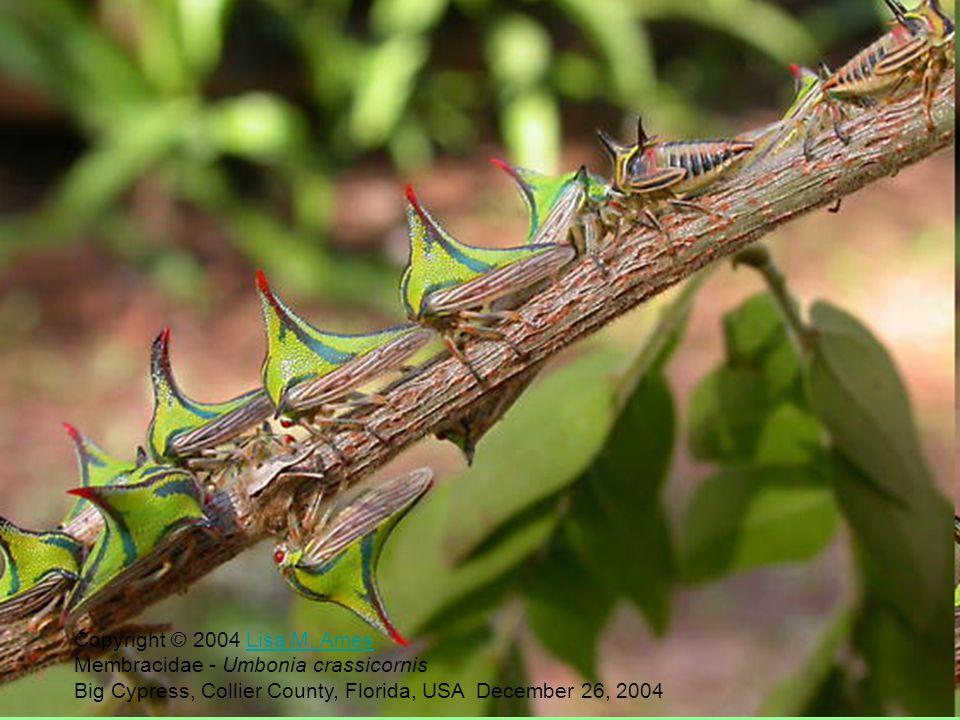 Copyright © 2004 Lisa M. Ames Membracidae - Umbonia crassicornis.