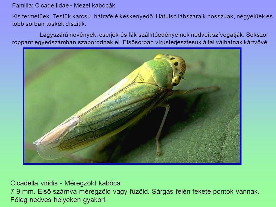 Cicadella viridis - Méregzöld kabóca