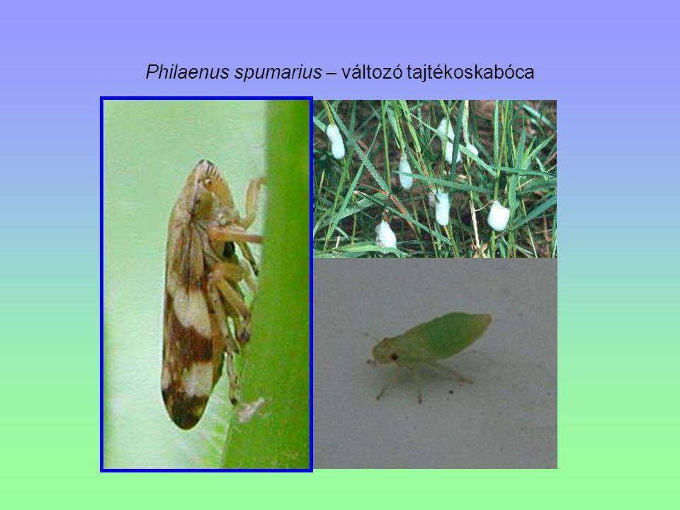 Philaenus spumarius – változó tajtékoskabóca