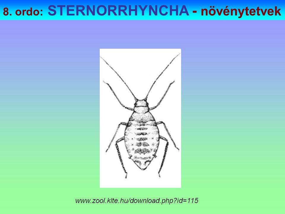 8. ordo: STERNORRHYNCHA - növénytetvek