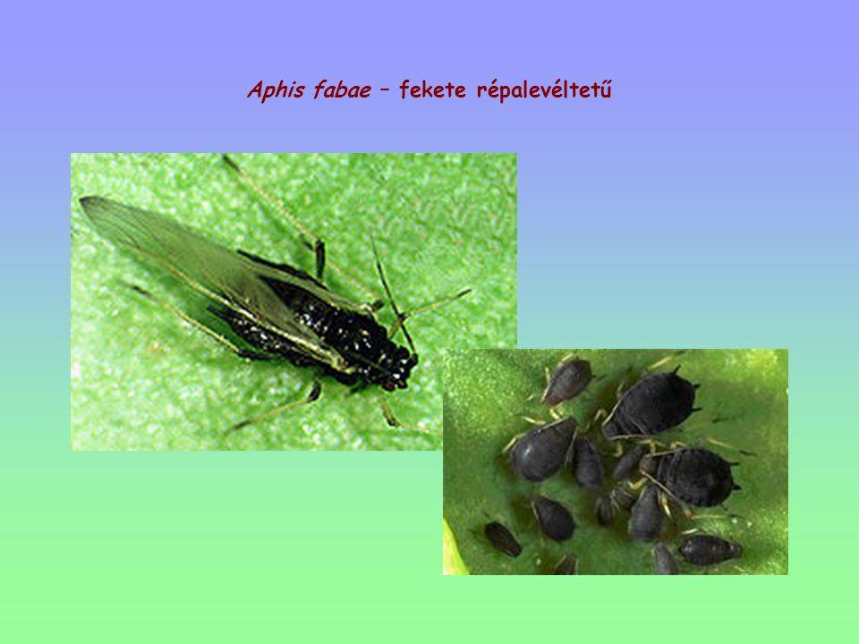 Aphis fabae – fekete répalevéltetű