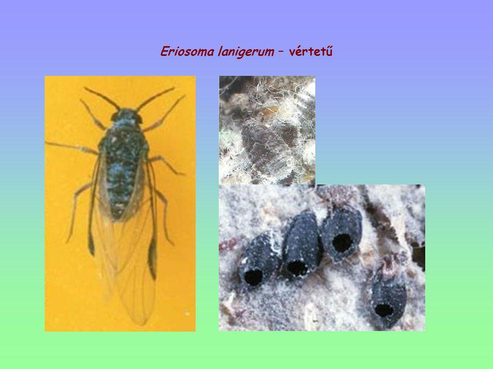Eriosoma lanigerum – vértetű