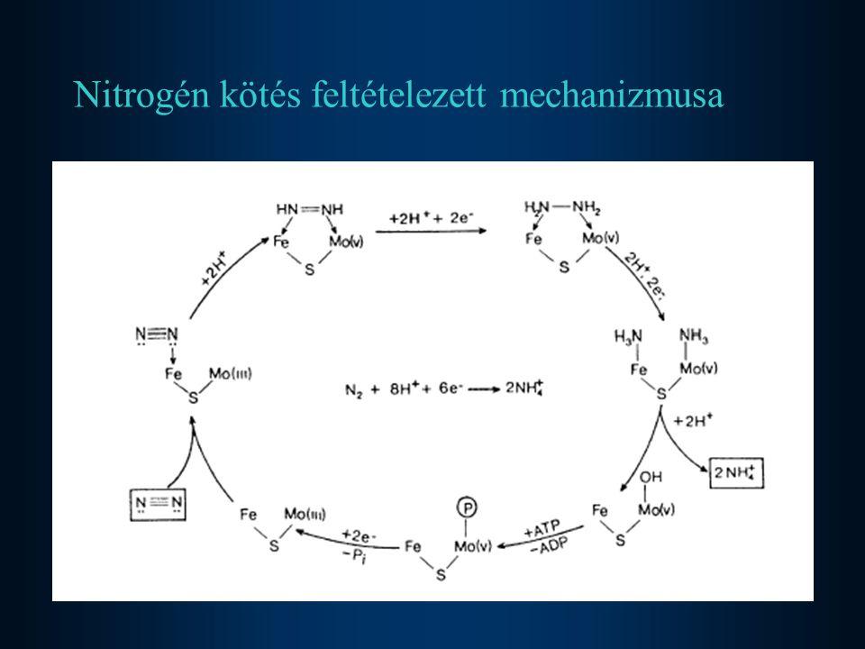 Nitrogén kötés feltételezett mechanizmusa
