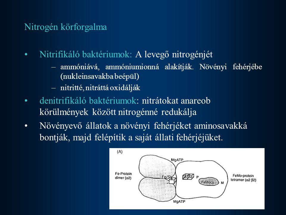 Nitrifikáló baktériumok: A levegő nitrogénjét