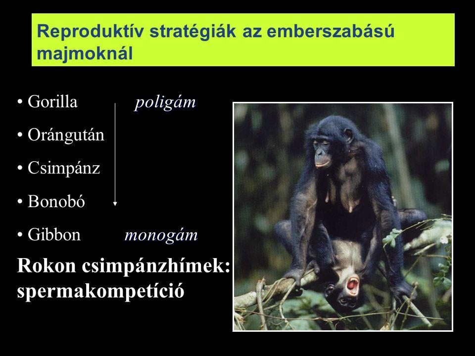 Reproduktív stratégiák az emberszabású majmoknál