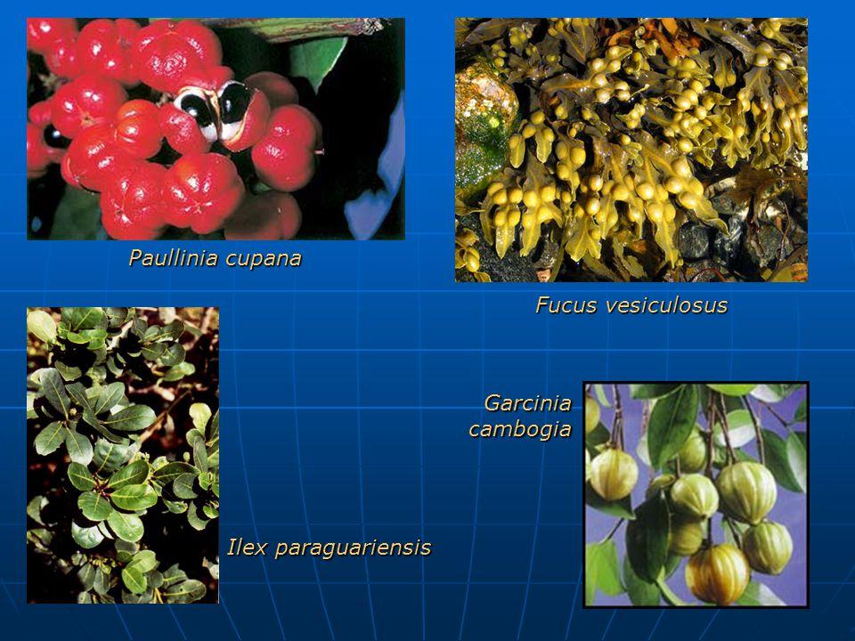 Paullinia cupana Fucus vesiculosus Garcinia cambogia Ilex paraguariensis