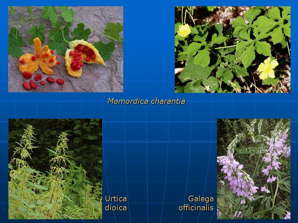 Momordica charantia Urtica dioica Galega officinalis