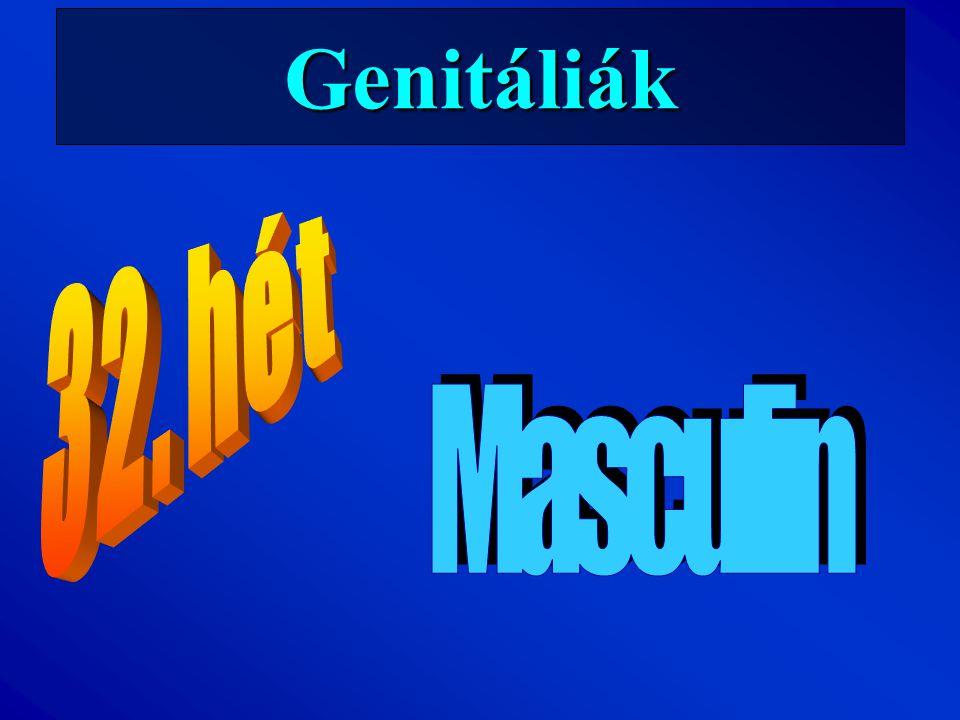 Genitáliák 32. hét Masculin