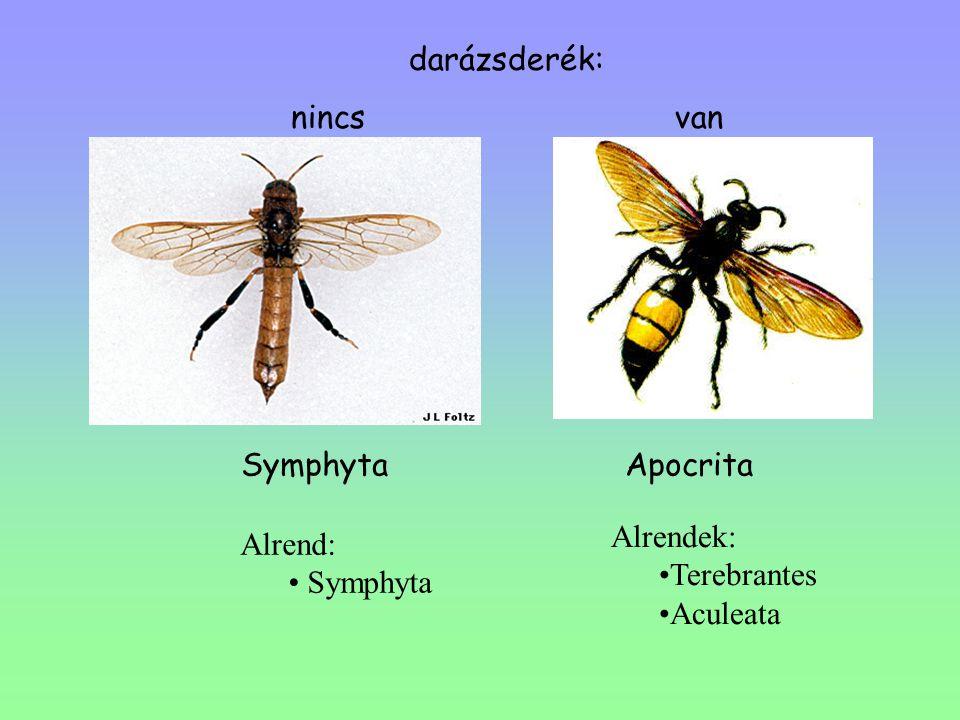darázsderék: nincs van Symphyta Apocrita Alrendek: Terebrantes Aculeata Alrend: Symphyta