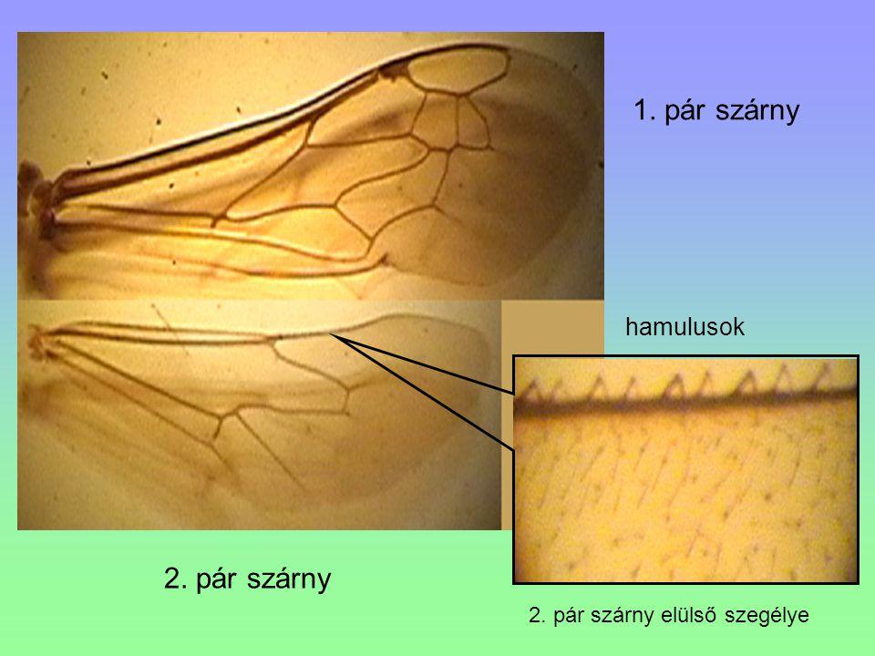 1. pár szárny hamulusok 2. pár szárny 2. pár szárny elülső szegélye