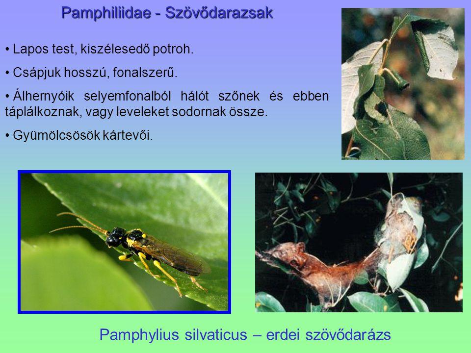 Pamphiliidae - Szövődarazsak